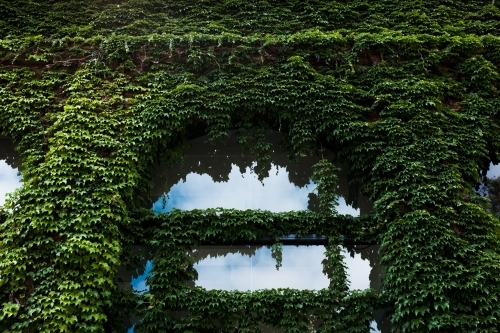 Green ivy covering building wall