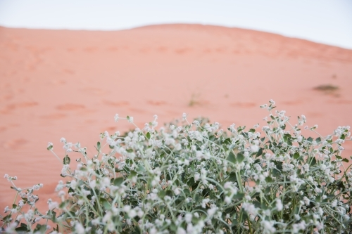 Green native plant in front of red sand dune