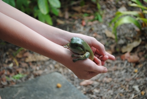 Green tree frog in the hands of a child