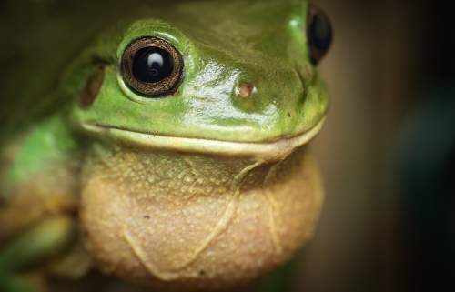 Green tree frog singing