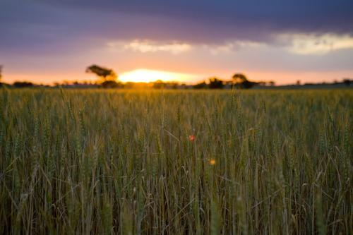 Green wheat stalks in the field with sun setting and dark clouds above