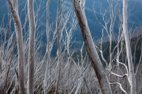 Grey burnt tree skeletons against blue valley in the mountains