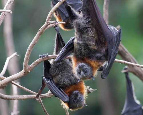 Grey Headed Flying Foxes