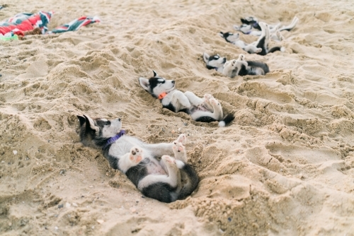 Group of Husky Pups Laying on their Backs in Sand