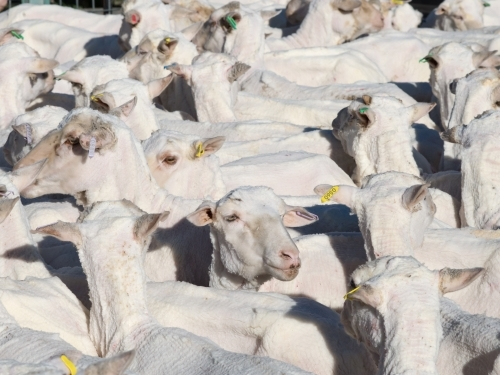 Group of shorn sheep
