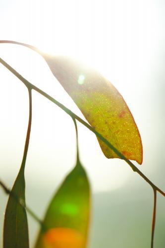gum leaves and light