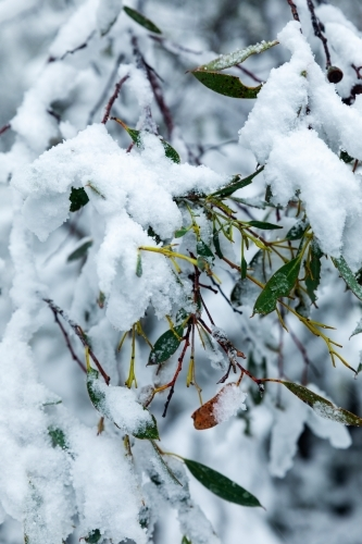gum leaves covered in snow