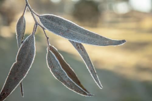Gum leaves covered in sparkling frost