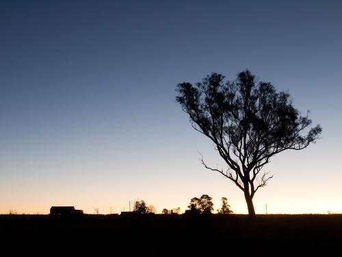 Gum tree silhouetted against low light sky