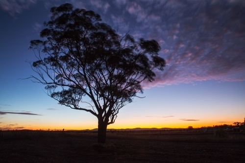 gum tree silhouetted against twilight