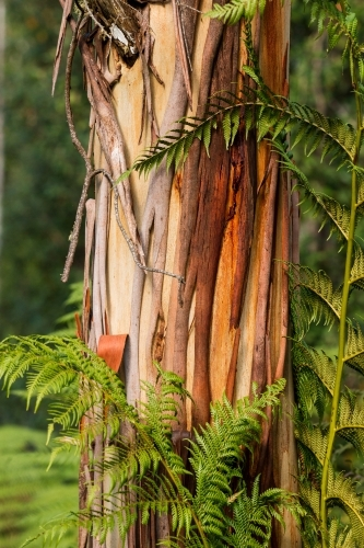 gum tree trunk growing through tree ferns