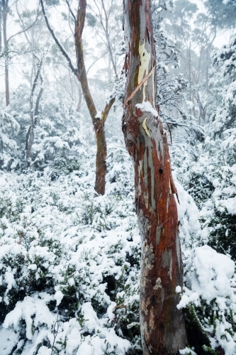 gum tree trunks in snowy landscape, vertical