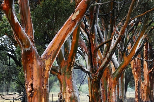Gum trees after rain