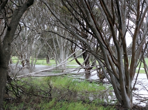 Gum trees and fallen tree beside flooded creek after rain