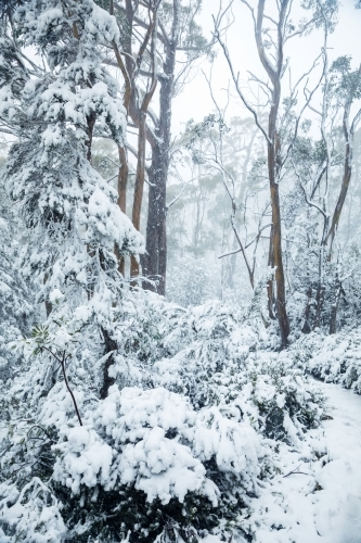 gum trees and snow covered bush land, vertical