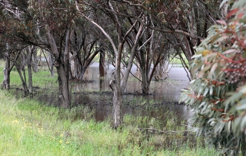 Gum trees beside flooded creek after a big rain