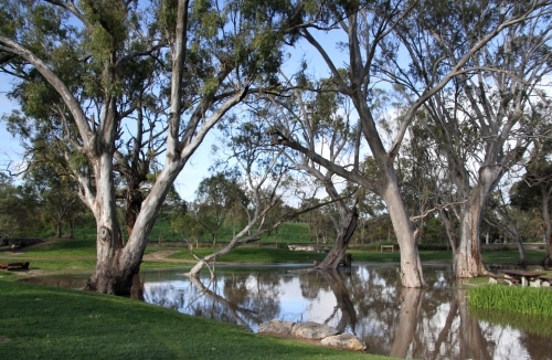 Gum trees in a park beside a still pool of water