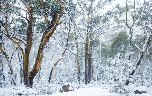 gum trees in snowy landscape