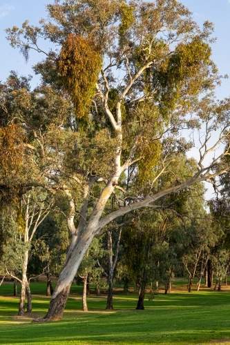 Gum trees on the hills of Tumut