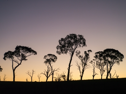 Gum trees silhouetted against a bright evening sky