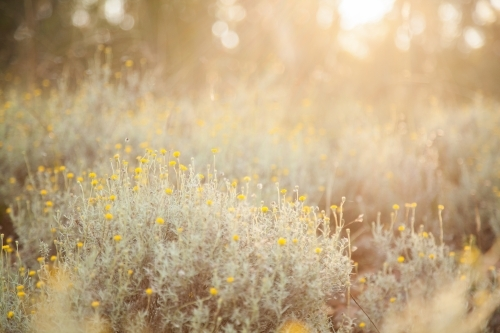 Soft warm light shining over golden wildflowers