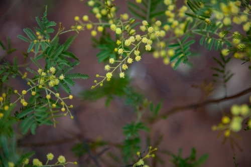 Autumn wattle blossoms blooming