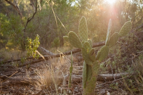 Prickly pear weeds in bushland with sunray shining over them