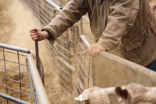 Hands of a stockman as he drafts ewes down a race