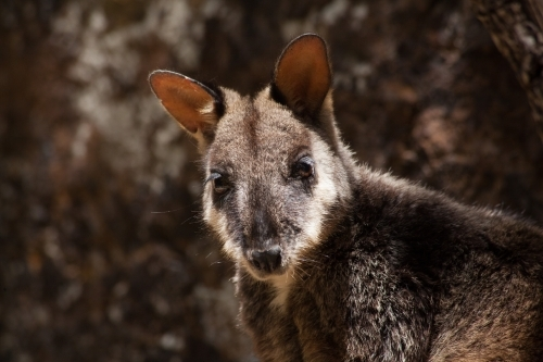 Headshot of Brush-tailed Rock Wallaby