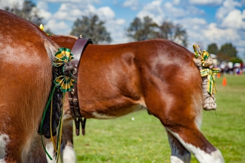 Heavy Horses all decked out for competition at the local show