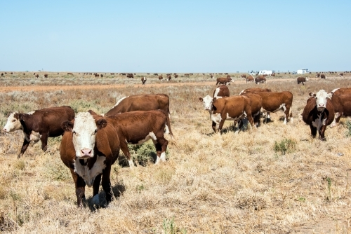 Herd of cows in a paddock in the hot midday sun