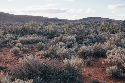 Hills covered in salt bush