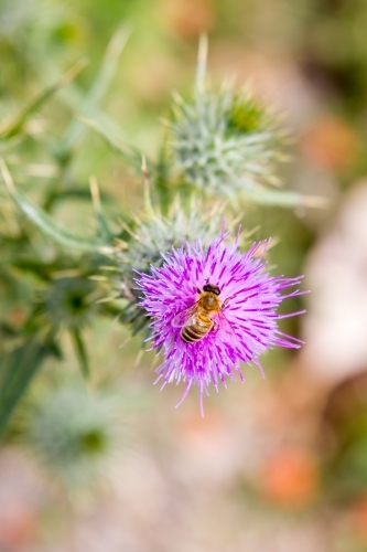Honey Bee on a Purple scotch thistle or Wooly Thistle