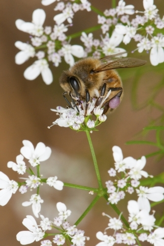 Honey bee on Coriander flowers