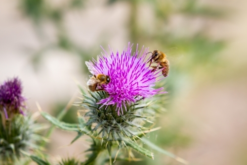 Honey Bees on Purple scotch thistle or Wooly Thistle.  Cirsium eriophorum