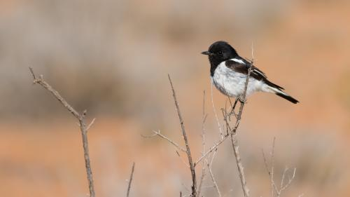 Hooded Robin on Outback Twig