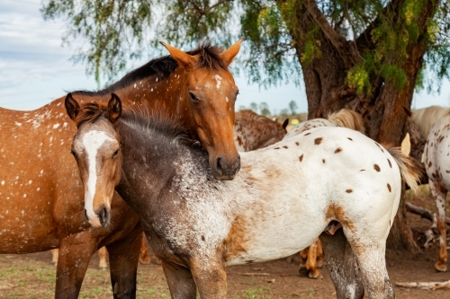 Horses close to one another nibbling each others necks