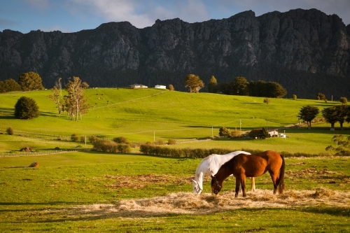 Horses Grazing with mountain backdrop.