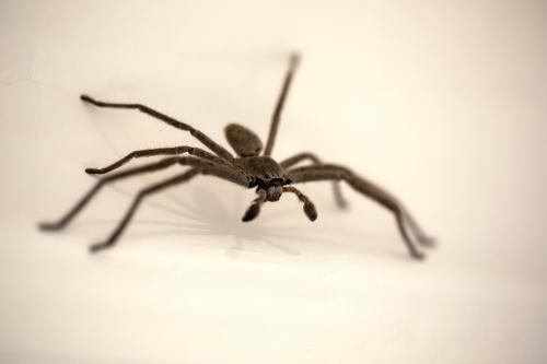 Huntsman spider close-up walking on wall