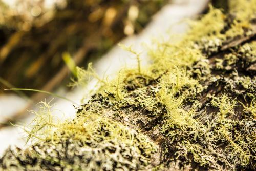 Lichen growing on a fallen log in the snow