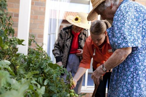 Elderly ladies picking tomatos from the garden with carer at an aged care facility