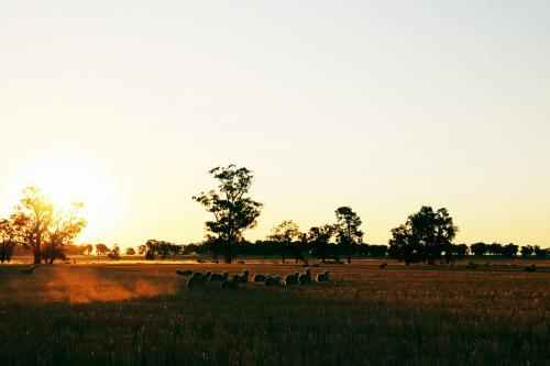 Sheep in a field at sunset