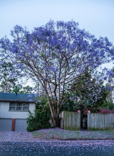 Jacaranda tree flowering in The Gap