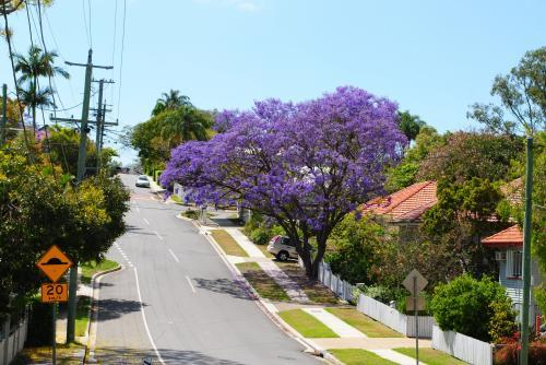 Flowering jacaranda tree in Grange, Brisbane