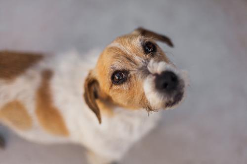 Jack Russell Dog looking into camera
