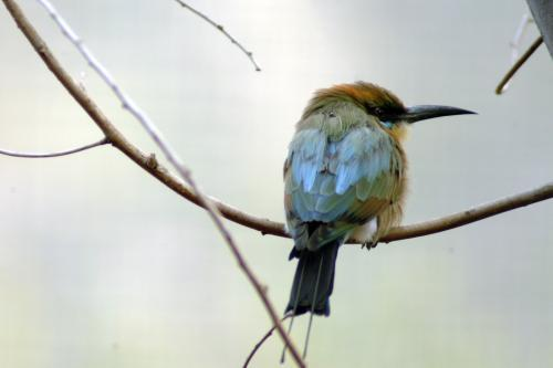 Juvenile rainbow bee eater bird