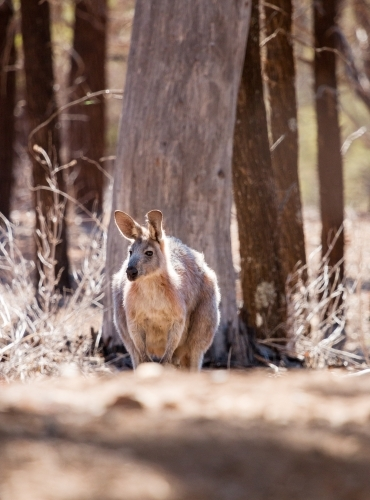 kangaroo among tree trunks