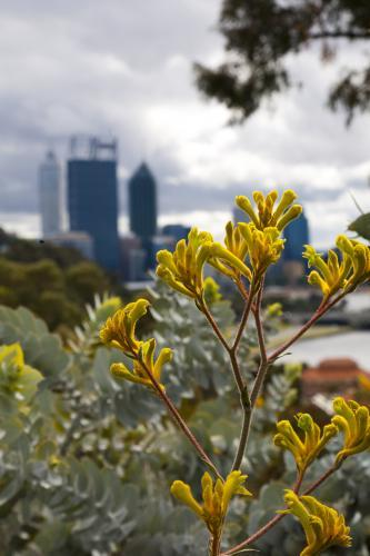 Kangaroo paw at Kings Park with Perth city skyline in distance