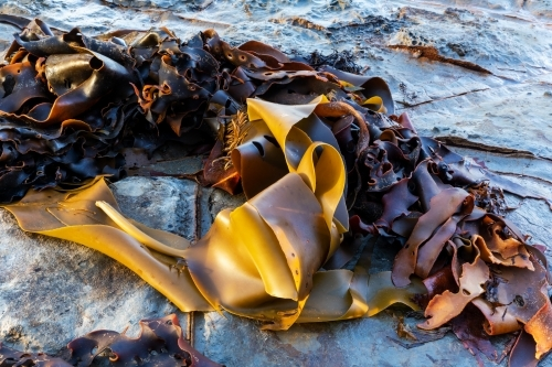kelp and seaweed washed up on rocks