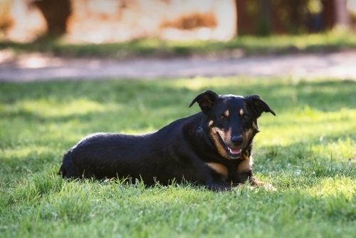 Kelpie dog lying down on grass